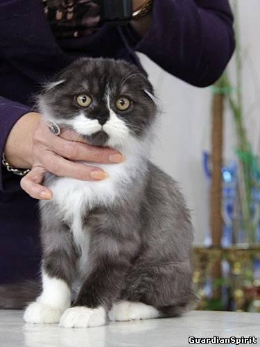 Котята Скоттиш-Фолд и Страйт ПДШ 638718183