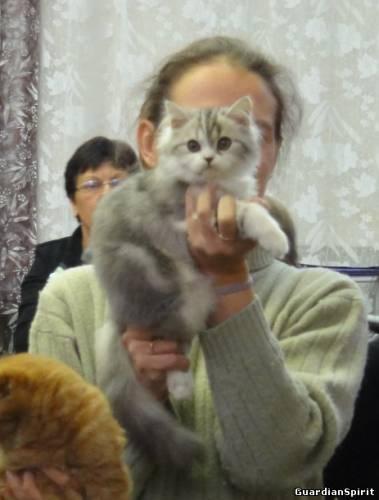 Котята Скоттиш-Фолд и Страйт ПДШ 796979513